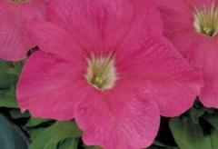 Petunia krupnotsvetkovy eagle pink f1, sakata of 1