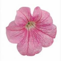 Petunia krupnotsvetkovy falcon blush pink f1,