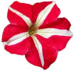 Petunia krupnotsvetkovy falcon red & white