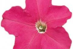 Petunia krupnotsvetkovy falcon rose f1, sakata of
