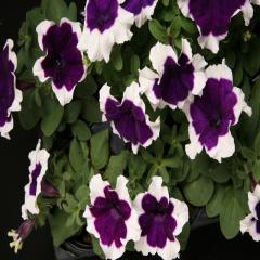 Petunia krupnotsvetkovy hulahoop blue f1, sakata