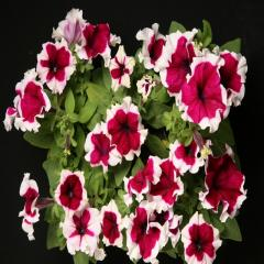 Petunia krupnotsvetkovy hulahoop burgundy f1,