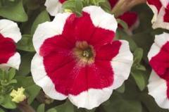 Petunia krupnotsvetkovy hulahoop red f1, sakata of