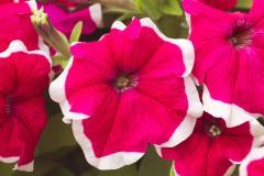 Petunia krupnotsvetkovy hulahoop rose f1, sakata