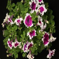Petunia krupnotsvetkovy hulahoop velvet f1, sakata