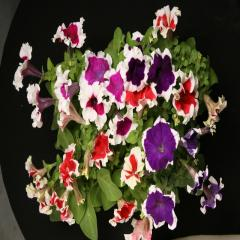 Petunia krupnotsvetkovy hulahoop mix f1, sakata of