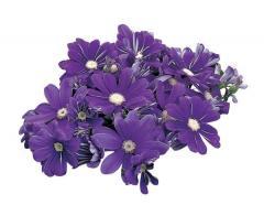 Tsinerariya of satellite purple & blue