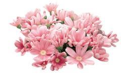 Tsinerariya of satellite rose & pink