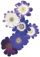 Tsinerariya of star wars blue shades, sakata of 1