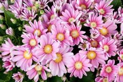 Tsinerariya of star wars pink shades, sakata of 1