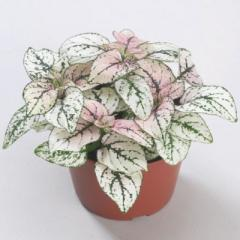 Gipoestes of confetti compact blush, sakata of 1