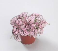 Gipoestes of confetti compact pink, sakata of 1