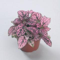 Gipoestes of confetti compact rose, sakata of 1