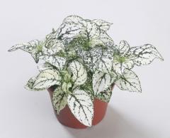 Gipoestes of confetti compact white, sakata of 1
