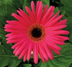 Gerbera of a dzheymson of festival neon rose with
