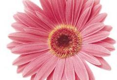 Gerbera of a dzheymson of festival pink shades