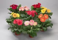 Gerbera of a dzheymson of festival mini mix f1,