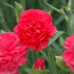 Carnation of can can rose f1, sakata of 1 000