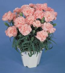 Carnation of lillipot lavender pink f1, sakata of