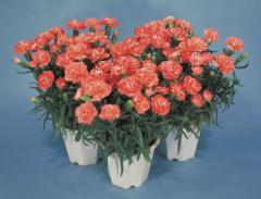 Carnation of lillipot orange bicolour f1, sakata