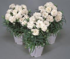 Carnation of lillipot white f1, sakata of 1 000