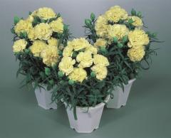 Carnation of lillipot yellow f1, sakata of 1 000
