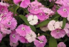 Carnation of diamond blush pink f1, sakata of 1