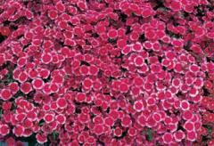 Carnation of diamond crimson picotee f1, sakata of