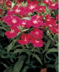 Carnation of diamond carmine rose f1, sakata of 1