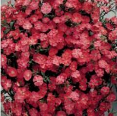 Carnation of diamond coral f1, sakata of 1 000