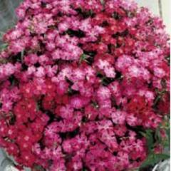 Carnation of diamond pink f1, sakata of 1 000