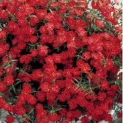 Carnation of diamond scarlet f1, sakata of 1 000