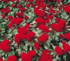 Tseloziya of prestige scarlet, sakata of 1 000