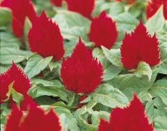 Tseloziya of kimono scarlet, sakata of 1 000 seeds
