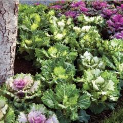 Cabbage decorative osaka mix f1, sakata of 1 000