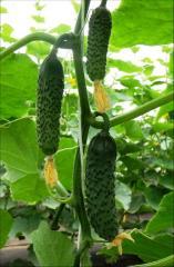 Sv 3506 cv f1 - a cucumber gherkin, seminis of 1