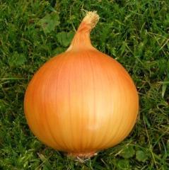 Taresko f1/taresko f1 — onion, nickerson zwaan of