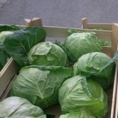 Dzhektop f1/jackpot f1 – a white cabbage, erste