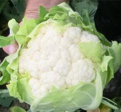 Ferrara f1/ferrara f1 – a cauliflower, nickerson