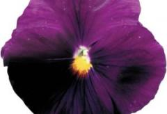 Violet (viol) of a vittrok of power purple with