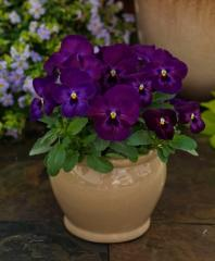 Violet (viol) horned grandissimo purple glow f1,