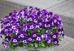 Violet (viol) horned perfetto purple face f1,