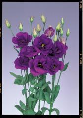 Rose (eustoma) of echo blue f1, sakata of 1 000
