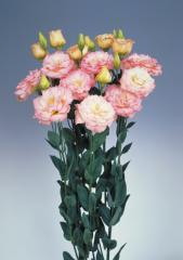 Rose (eustoma) of echo champagne f1, sakata of 1