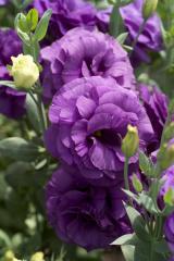 Rose (eustoma) of mariachi® blue f1, sakata of 1