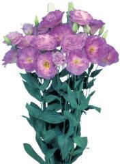 Rose (eustoma) of mariachi® misty blue f1, sakata
