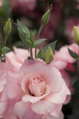 Rose (eustoma) of mariachi® pink f1, sakata of 1