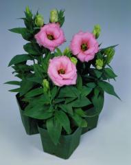 Rose (eustoma) of matador rose pink f1, sakata of
