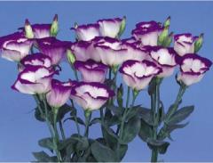 Rose (eustoma) of mirage blue rim f1, sakata of 1