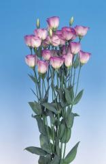 Rose (eustoma) of mirage pastel pink f1, sakata of